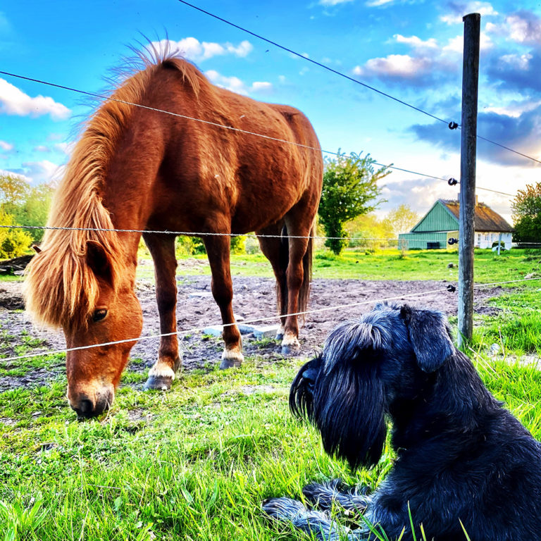 Islænder og hund